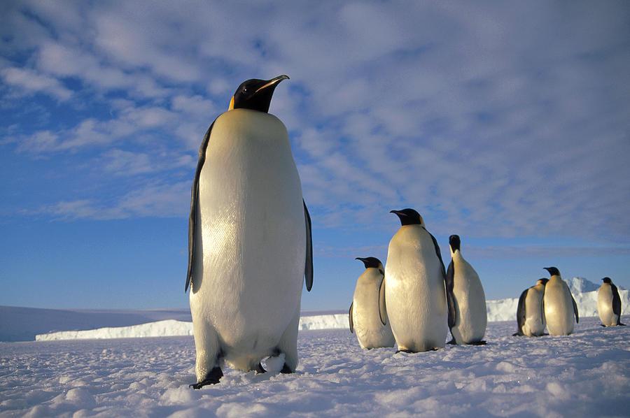 Образ жизни пингвинов