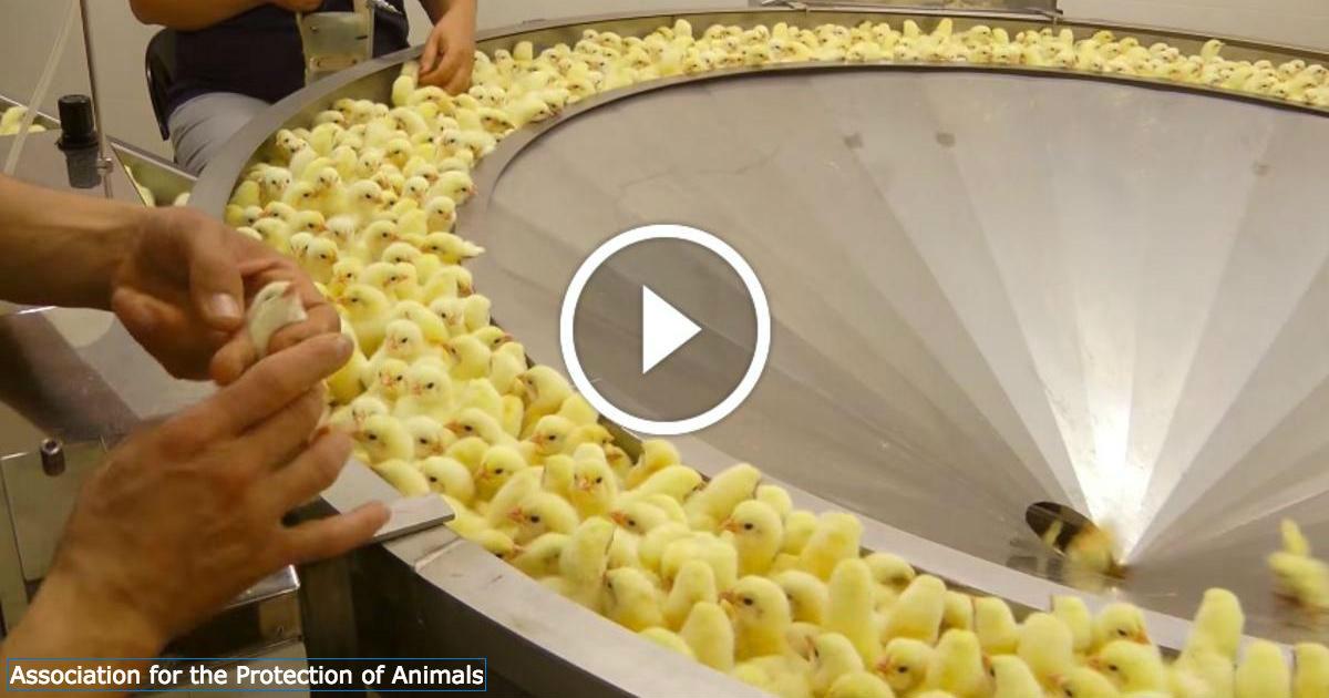 Вот что на самом деле происходит в курином инкубаторе! Бедные птенцы…