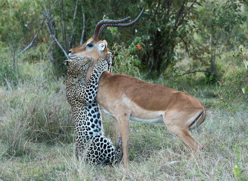 Поцелуй смерти: импала влапах леопарда