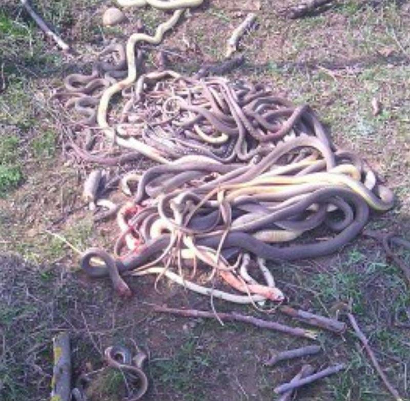 Гора изрубленных змей... Ты не поверишь, когда узнаешь, КТО с ними расправился.