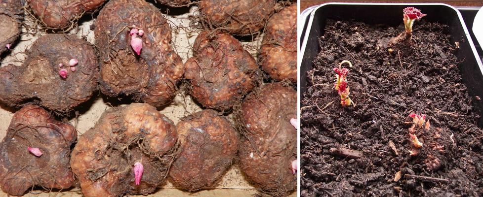Бегония клубневая: посадка, уход и размножение в домашних условиях