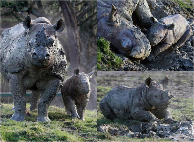 Прелестный детеныш носорога резвится вгрязи