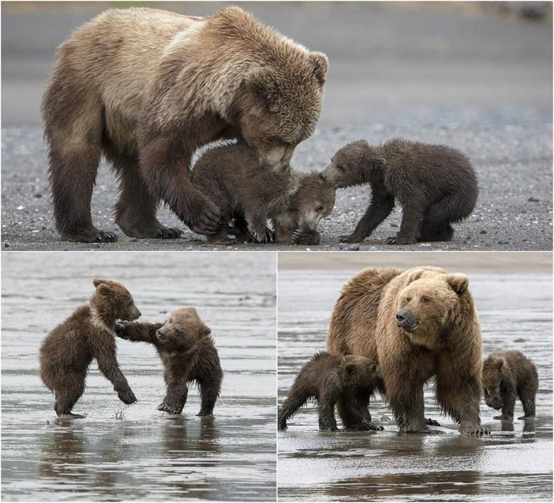 Мама медведица с4 месячными малышами