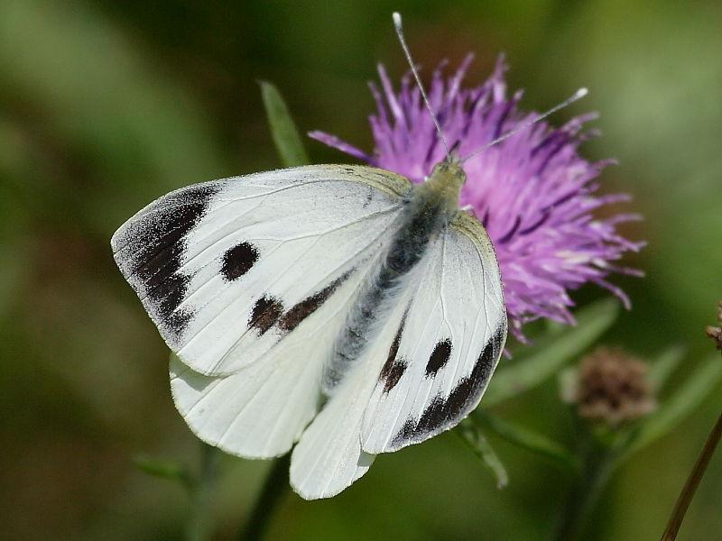 Бабочка капустница: фото и описание, среда обитания и питание