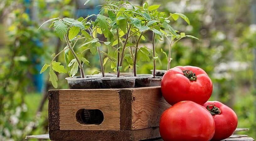 Секреты высадки рассады томатов