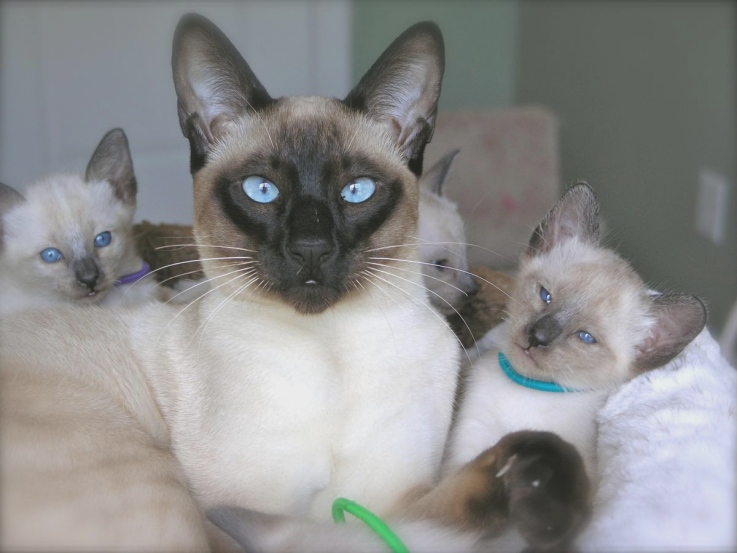 Бомбейская кошка: описание породы и характер животного