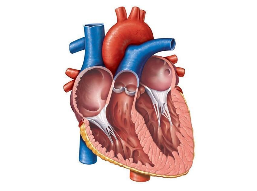Аускультация сердца: точки выслушивания, методика проведения и результаты