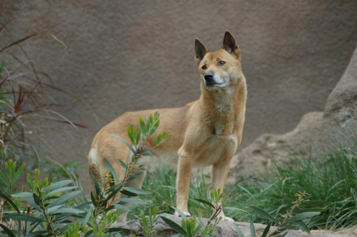 Ученым удалось обнаружить редчайшую дикую собаку, которую относили к вымершему виду
