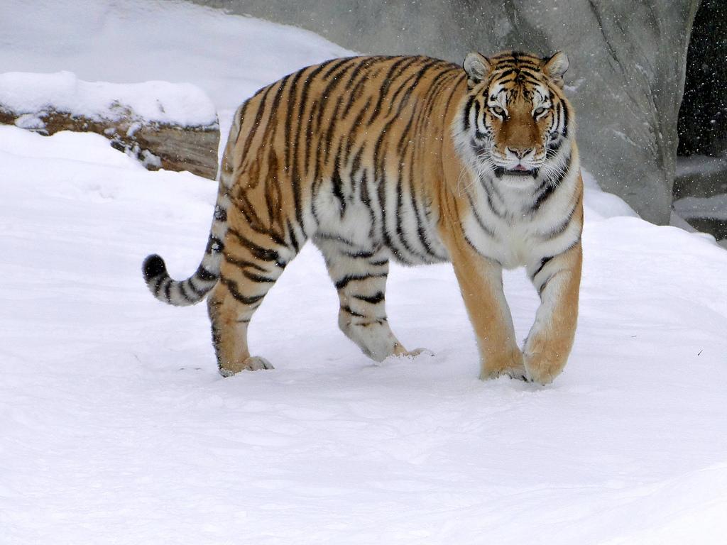 Амурский тигр: фото, описание, характеристика, среда обитания и образ жизни