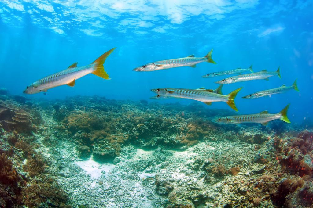 Рыба барракуда: виды, описание, где обитает, чем питается