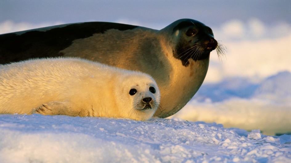 Тюлень картинки фото, ретро