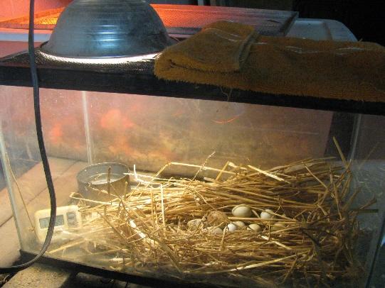Инкубация перепелиных яиц — пошаговая инструкция от А до Я