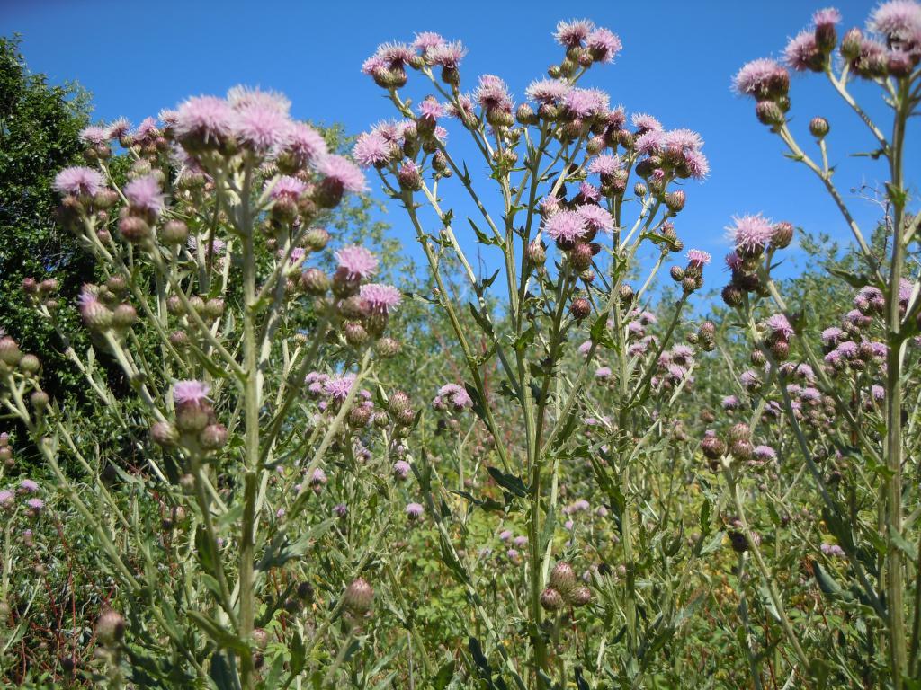 Бодяк полевой: фото, описание, лечебные свойства и противопоказания