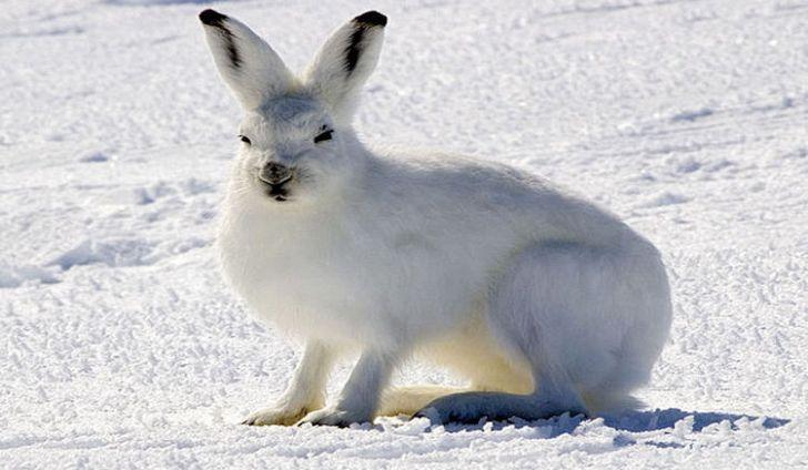 tundra animals - 728×424