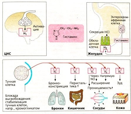 Гистаминовый цикл 1: что такое гистамин