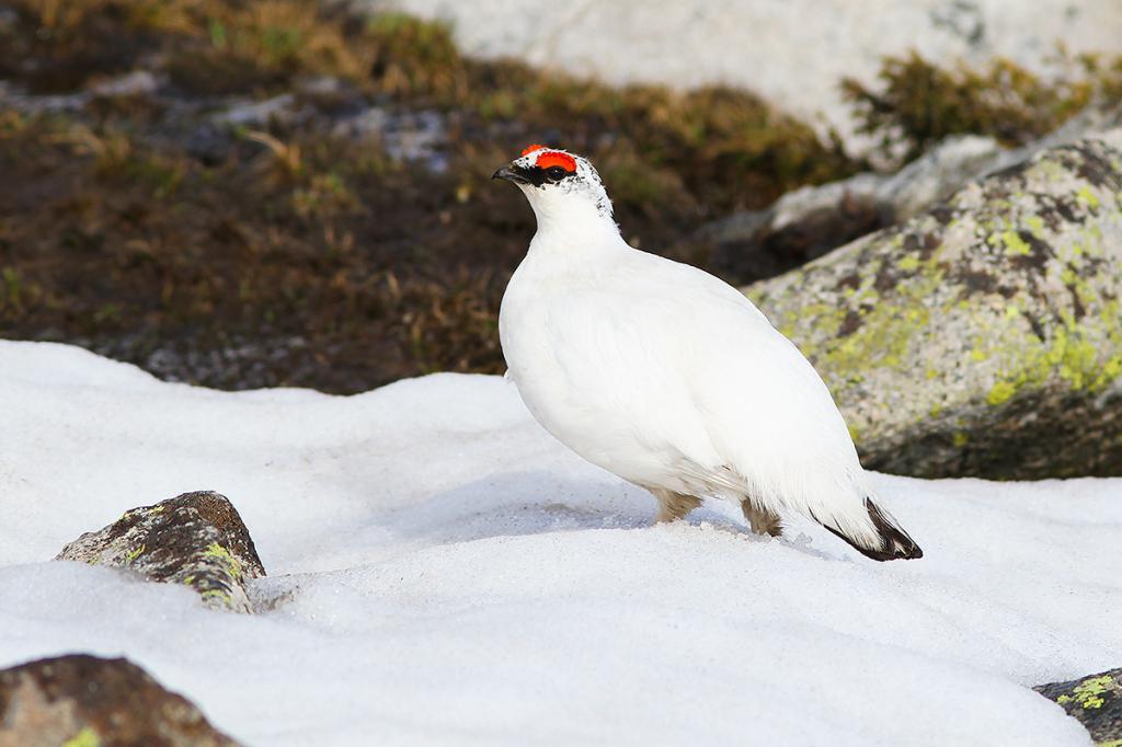 Белая куропатка: фото и описание, среда обитания и образ жизни