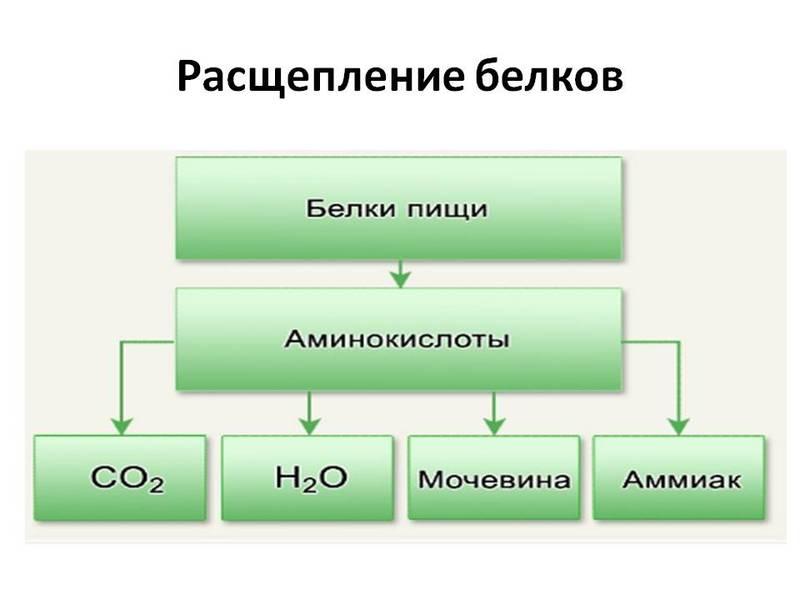Влияние аминокислот на организм человека