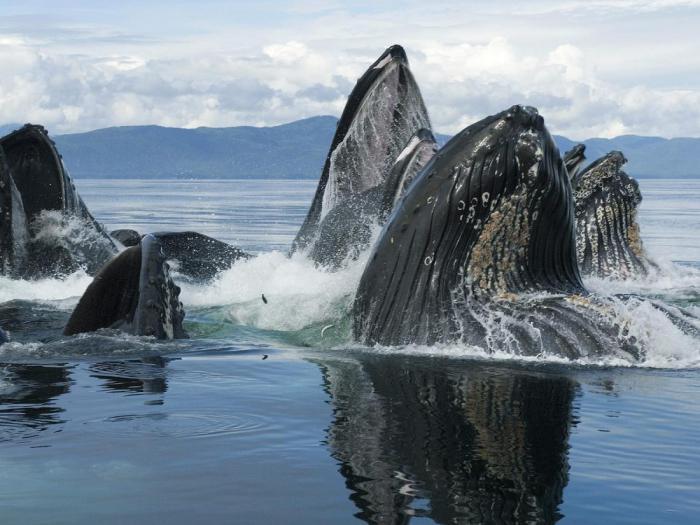 Горбатые киты собираются в супергруппы для проведения собственных рейвов?
