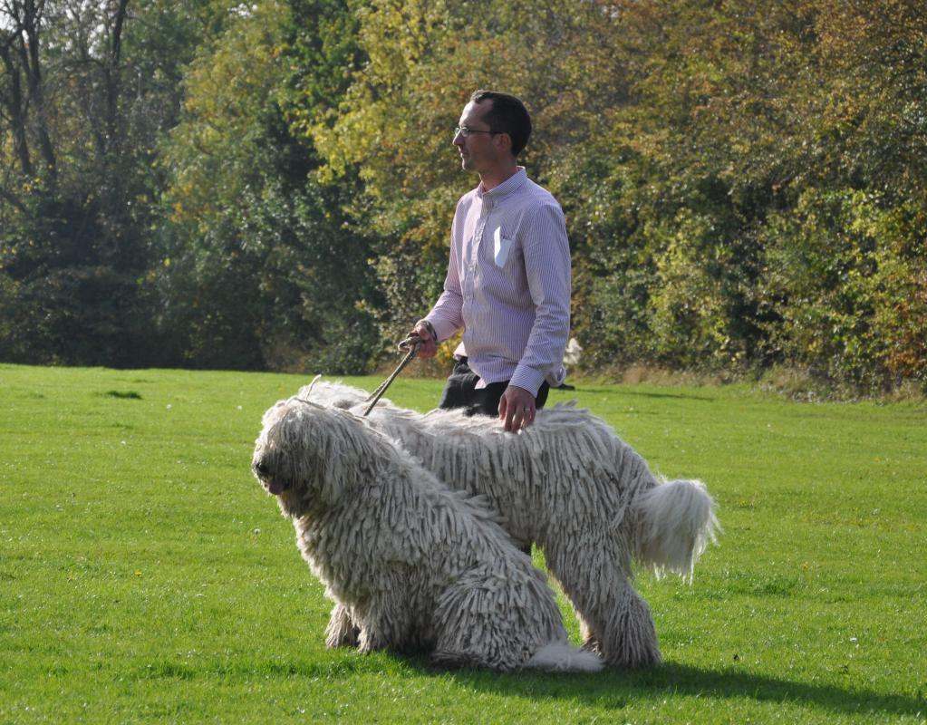 949a5d93aa35 Комондор (венгерская овчарка): описание породы, характеристики и особенности