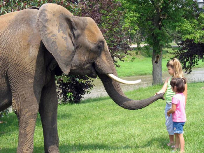 Африканские слоны: факты для детей