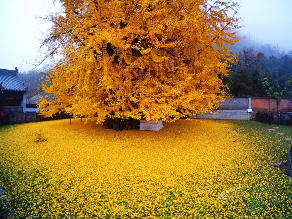 Гинкго двулопастный: фото и описание декоративного дерева, интересные факты