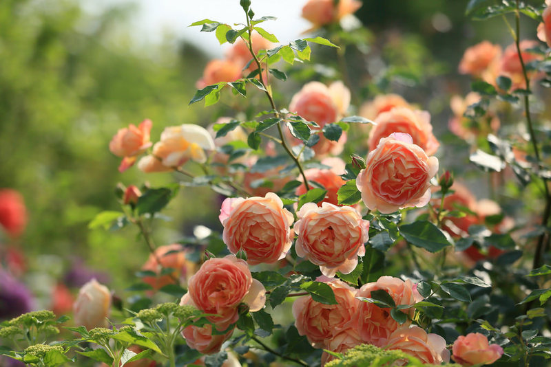 Как правильно обрезать розы весной