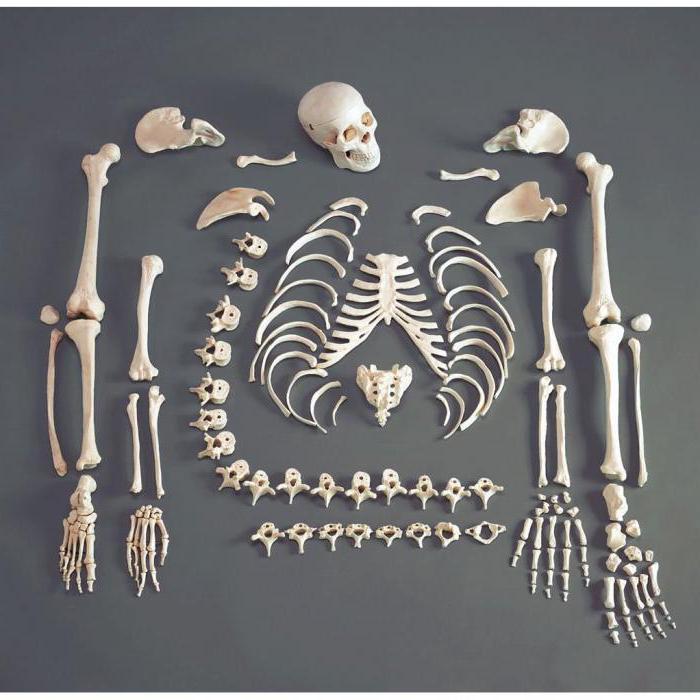 Рост костей в толщину происходит за счет... Все о росте костей