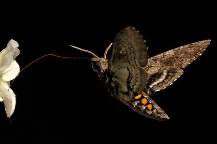 Неужели мотылек поможет вылечить желудок?