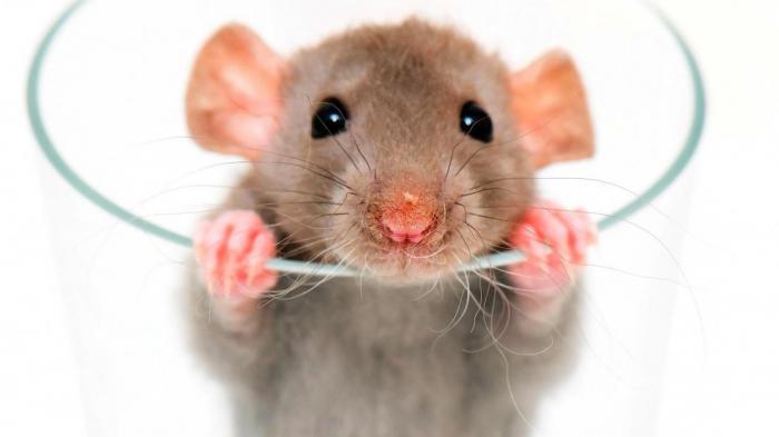 Крысы смеются с помощью... ушей?