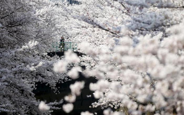 Весна пришла: 12 потрясающих фото цветущей вишни