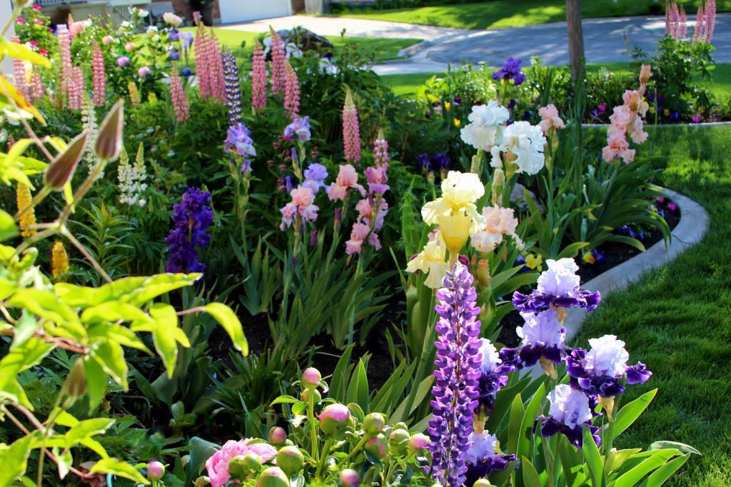 Цветы ирис: описание, особенности, выращивание и отзывы