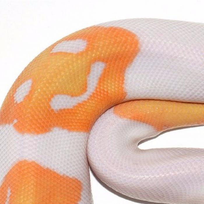 Селекционеры создали идеальную змею эмоджи после 8 лет попыток