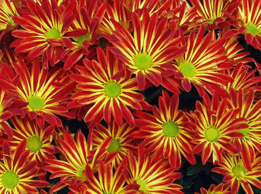 Цветок гацания: фото, описание, выращивание из семян, посадка и уход в открытом грунте
